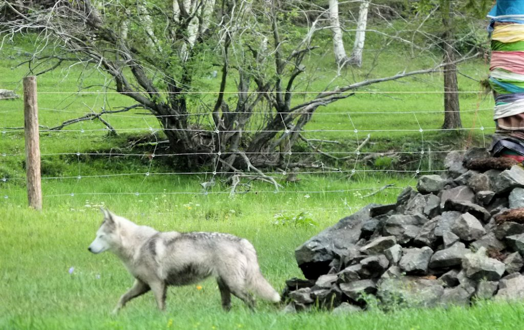 Der Wolf am Ovoo