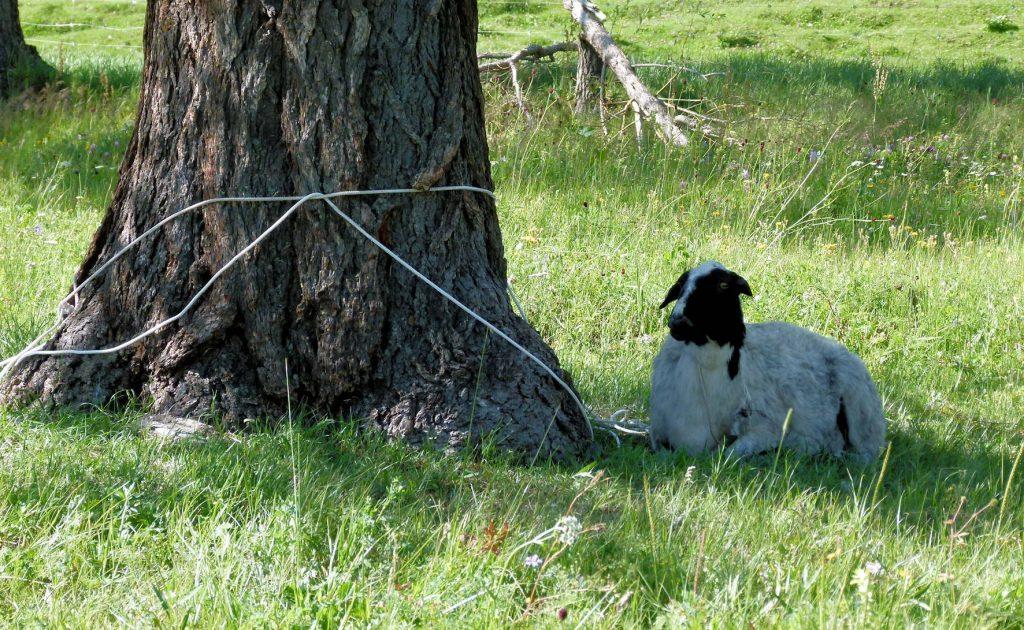 Bei Schamanen: das Schaf-Opfer